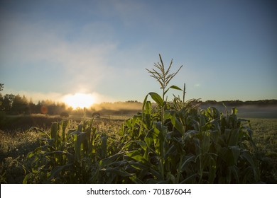 Corn in a field whille the sun rises in the morning