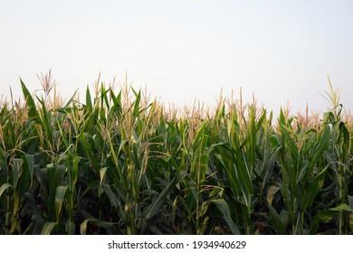 Corn fields in the fog fill the morning sky.