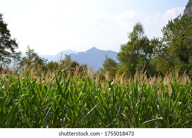 Corn fields of growing crops in mountain valley in a sunny summer day.