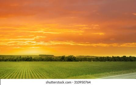 Corn field/sunset