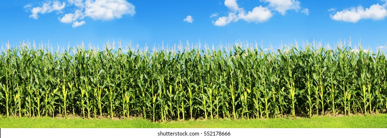Corn filed panorama with blue sky