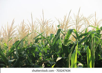 Corn Flowering Stage In Field