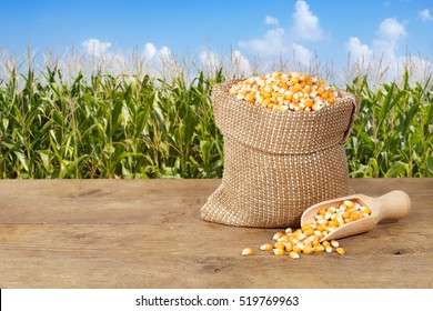 Corn grains in burlap bag with wooden scoop on table with field on background