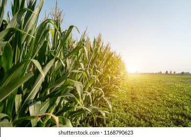 Corn grown in farmland, cornfield