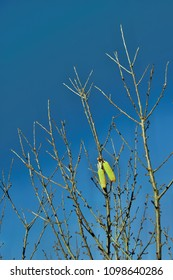 corn hanging on a tree