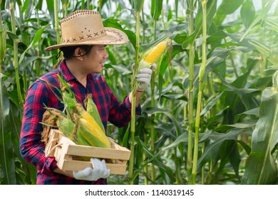 Corn harvest in the Agricultural land.