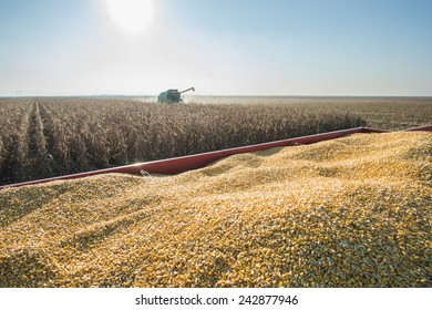 Corn harvest in autumn