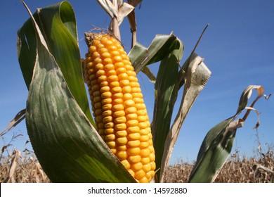Corn Harvest or Bio Fuel