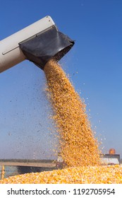 Corn Harvest. Corn Falling from Combine Harvester Auger into Grain Cart. Unloading Auger Pouring Corn Grain.