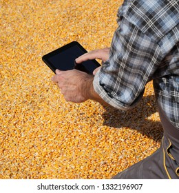 Corn harvest, farmer or agronomist examining heap of crop and using tablet to calculate