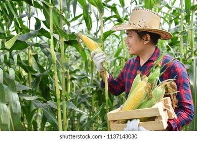 Corn harvest Corn farmer Corn harvest Growing corn Organic Farming, Organic Farming, Food and Vegetable Production, Organic Farming, Agricultural Land