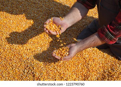 Corn harvest, farmer at heap of crop holding and pouring seed, closeup of hands with seed