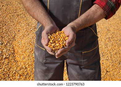 Corn harvest, farmer at heap of crop holding handful of  seed, closeup of hands with seed