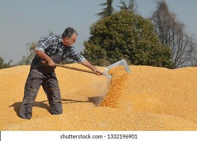Corn harvest, farmer at heap of crop throw corn crop using shovel