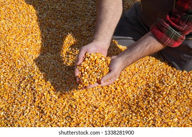 Corn harvest, farmer at heap of crop holding handful of seed