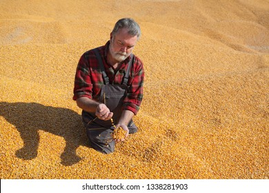 Corn harvest, farmer at heap of crop holding handful of seed and pouring it