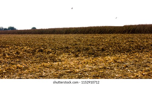 Corn harvest. A corn field during summer afternoon in rural