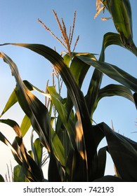 Corn in late Summer