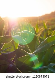 corn leaves close up with lens flare in the evening sun