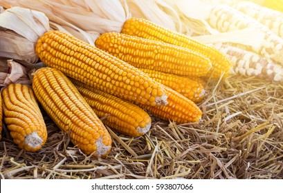 Corn maize cobs after harvesting season.Yellow tone.