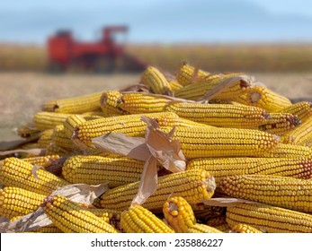 Corn maize cobs during harvesting season and combine harvester in background.