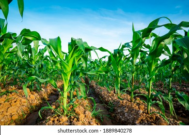 Corn or maize field in organic land agriculture on blue sky background, fresh maize in farm of countryside or rural, corn vegetable plantation for harvesting to sell, row stem maize on soil ground