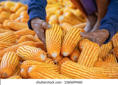 Corn or Maize for processing into fodder. Harvest maize. Corn grain. Natural food. Maize on the farmers farm after harvest. Farmer holding corn ear on the cob. Ripe maize ready for harvest.