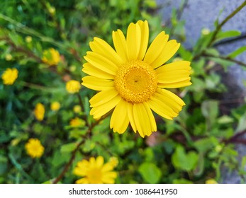 Corn marigold, Coleostephus myconis growing on grassy fields of Galicia