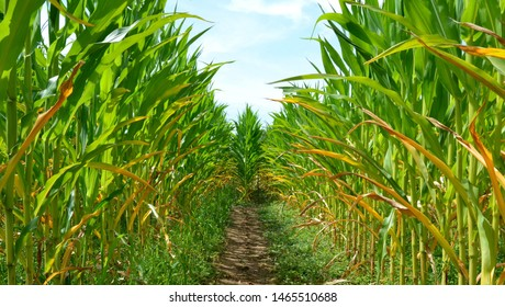 A corn maze or maize maze - maze cut out of a corn field. Narrow path inside a corn maze. Footpath between stalks and leaves on the corn field. Popular tourist attraction
