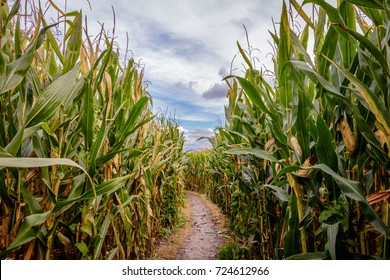 A corn maze or maize maze is a maze cut out of a corn field. The first corn maze was in Annville, Pennsylvania. Corn mazes have become popular tourist attractions in North America.