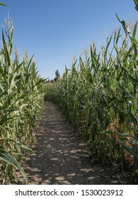 Corn Maze in the middle of northern california