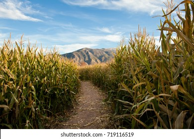 Corn maze with mountain and blue sky in the background.