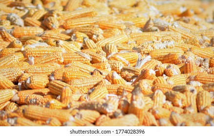 Corn on the cob is a culinary term used for a cooked ear of freshly picked maize from a cultivar of sweet corn. Sweet corn is the most common variety of maize eaten directly off the cob.