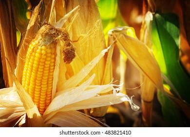 Corn, corn on the cob, corn doll in sunshine