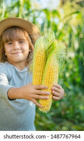 Corn on the field in the hands of a child. Selective focus.