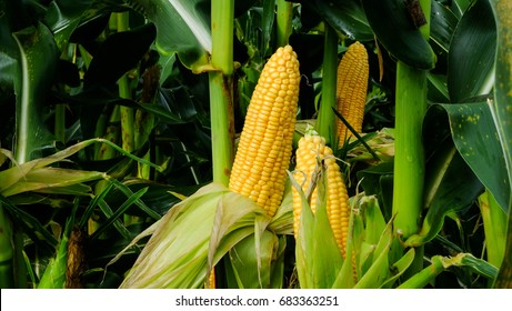 Corn on the stalk in the field.
