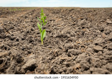 Corn plant emerging out of soil. VE growth stage. Concept of farming, agriculture and planting season