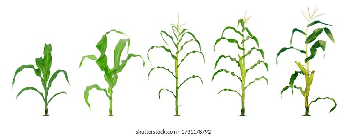Corn plant  growing isolated on white background for garden design. The development of young plants, from sequence to tree, ready to be harvested. Agriculture for the food industry