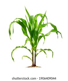 Corn plant isolated on a white background with clipping paths for garden design. A popular grain crop that is used for cooking or processing as animal food. Agriculture industry is growing today.