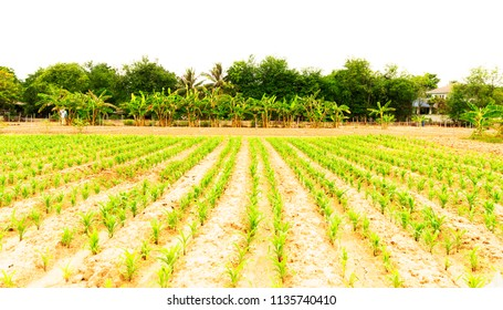 Corn plant on country side in Thailand for farmlands concept