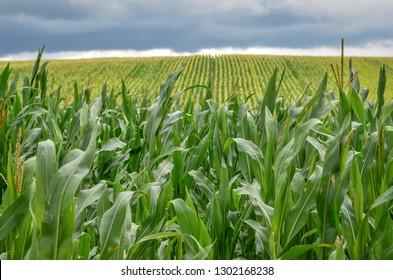 Corn plantation close up.