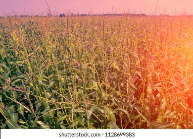 Corn plantation in Eastern Europe. Bushes of corn in period milky-wax ripeness. Mens tall panicles on tops of shoots - monoecious plants