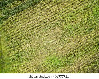 Corn Plantation on Farmland in Mato Grosso, Brazil