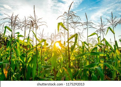 Corn planted with sunlight.