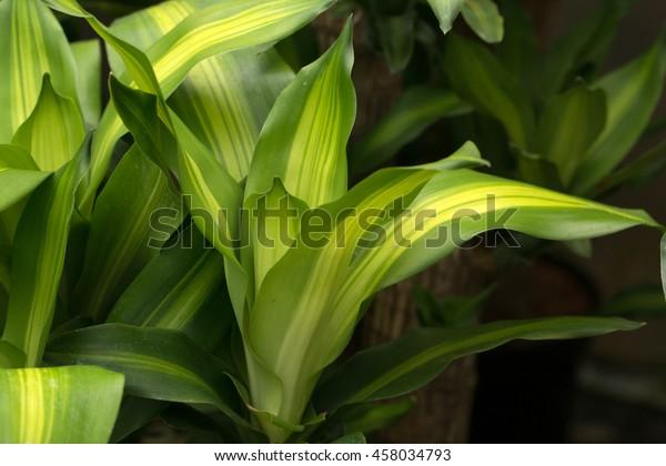 Corn Plant's bright leaf with yellow stripe (Dracaena fragrans)