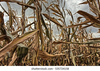 Corn plants with cobs on a land, ready to be harvested at the end of the harvesting season.