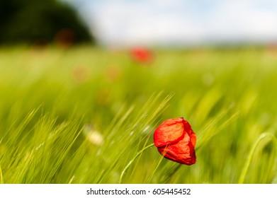 Corn Poppies in a field of Barley.