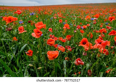 Corn poppies (Papaver rhoeas), Bavaria, Germany, Europe