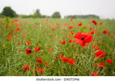 Corn poppies (Papaver rhoeas) in a field.