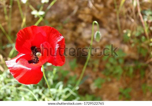 corn-poppy-flower-closeupspace-text-600w